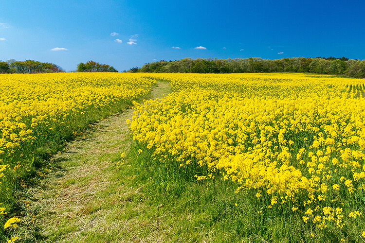 Photograph of the flower field in the composition of the rule of thirds